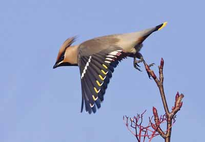 Ron's winning photo of a waxwing.