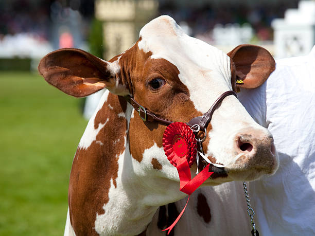 Prize cow
